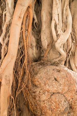 aerial roots: Aerial roots running along a massive tree trunk