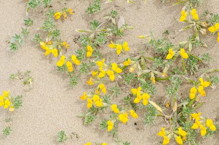 sandy soil: Creta trefoil  in blossom sitting on sandy soil