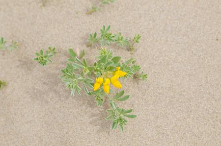 Sandy soil: Tr�bol Creta en flor que se sienta en el suelo arenoso