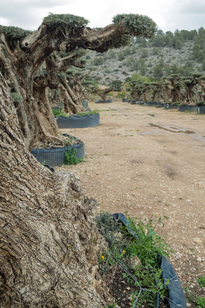 meant: Centennial olive trees meant for ornamental purposes