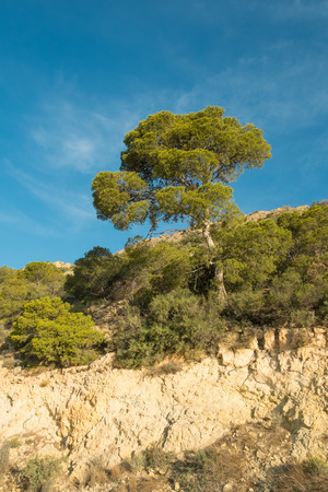 forested: Large Mediterranean tree standing out in a forested area