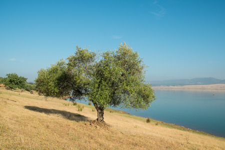Cork oak trees dotting the landscape in central Andalusia, Spain