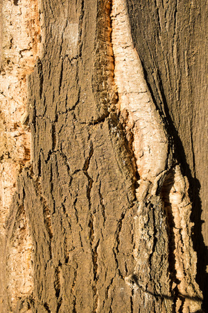 rugged: Closeup take of the rugged bark of a cork oak