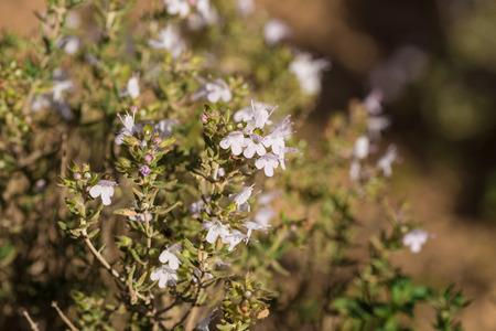 shrub: Closeup take of a flowering rosemary shrub