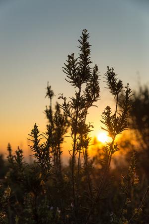shrub: Rosemary shrub against the background of a golden Mediterranean sunrise Stock Photo