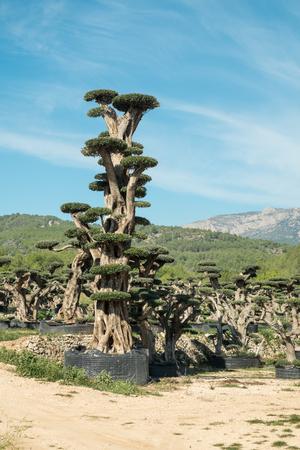 skillfully: Farm growing skillfully pruned ornamental olive trees
