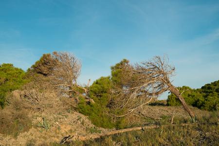 windswept: Heavily tilted windswept trees on beach dunes Stock Photo
