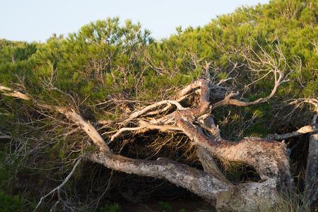 windswept: Windswept pine trees on  Mediterranean coastal dunes Stock Photo