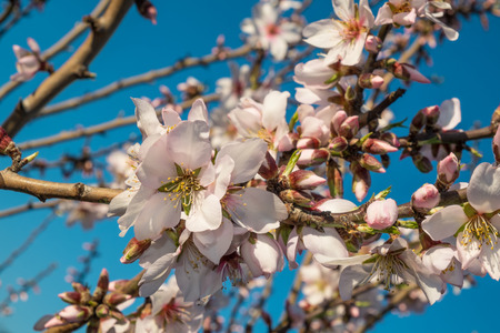 almond bud: Flowering almond tree branches against the background of blue sky