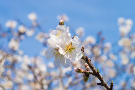 Flowering almond trees against blue sky