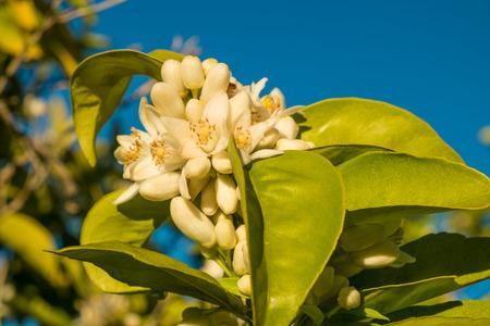 Arancio e fiori di albero di limone, noti anche come Azahar.