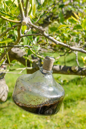 citrus tree: Traditional citrus tree fly trap that does not use any chemicals