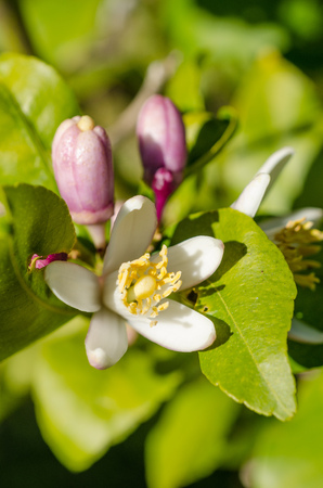 citrus tree: Citrus tree blossom, also known as azahar, in the Mediterranean spring Stock Photo
