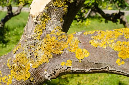 spoilt: Fungus pest on a lemon tree trunk Stock Photo