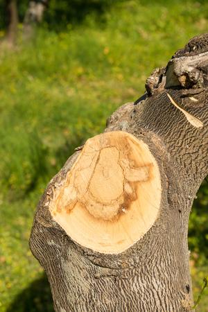 citrus tree: Freshly pruned citrus tree trunk