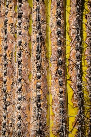 stingy: Closeup take of a cardon cactus