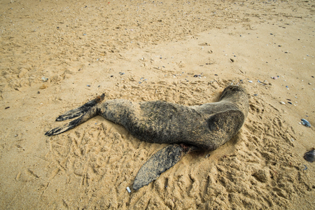 poisoned: Dead seal washed ashore on beach sand Stock Photo