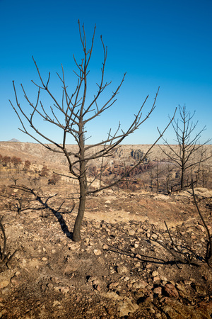the aftermath: Burnt trees and desolation, aftermath of a severe forest fire