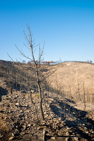 deforestacion: Burnt trees and desolation, aftermath of a severe forest fire