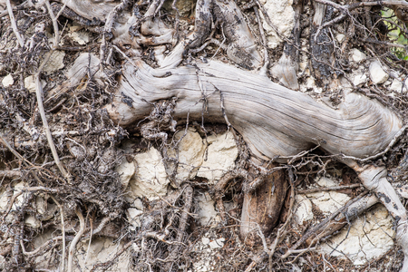 Close up at the roots of an uprooted tree after a landslide