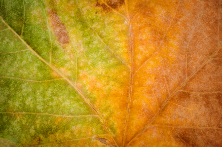 Fall leaf with a gradient from green to brown.