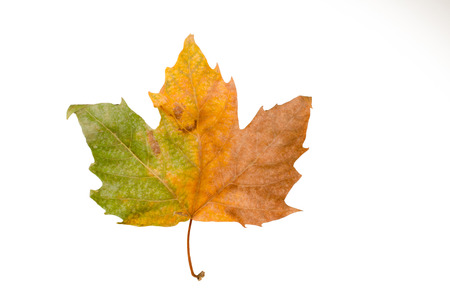 Autumn leaf with a gradient from green to brown isolated on white