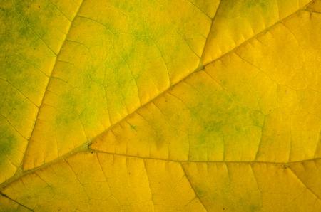 Autumn color gradient on a leaf, a seasonal background 版權商用圖片