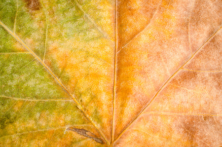 Autumn color gradient on a leaf, a seasonal background 版權商用圖片