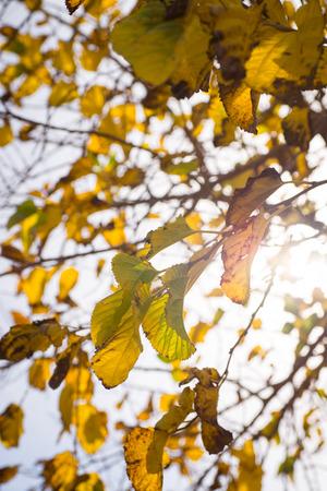 Deeply yellow foliage on autumn tree branches 版權商用圖片