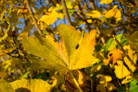Branches full of yellow autumn leaves on a fig tree