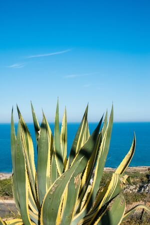 Agave in sunny weather against the background of the sea Imagens