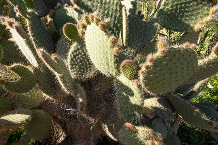 Full frame take of cacti with green prickly pear fruit