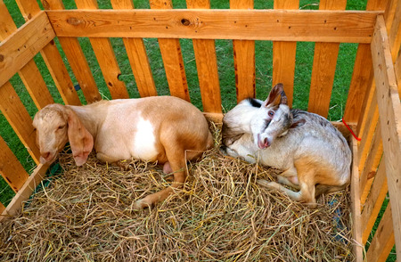 hircus: Two  young goats stay in a wood stable which was located in the garden Stock Photo