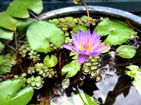 monet: Beautiful Thai purple lotus with its leaves in the tub which was located in the garden
