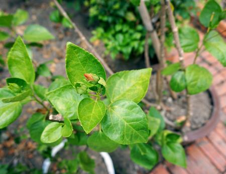 malvaceae: Hibiscus flower bud, Hibiscus rosasinensis. L. in Malvaceae spp., was planted  in garden. Stock Photo