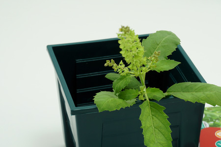 Holy basil in pot,  Close up Holy basil , business and nature concept