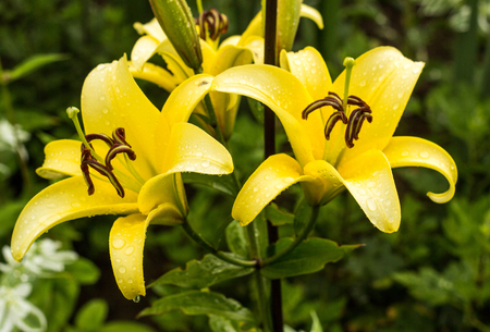 Yellow lilies after the rain, water droplets on the petals, close-up, lily