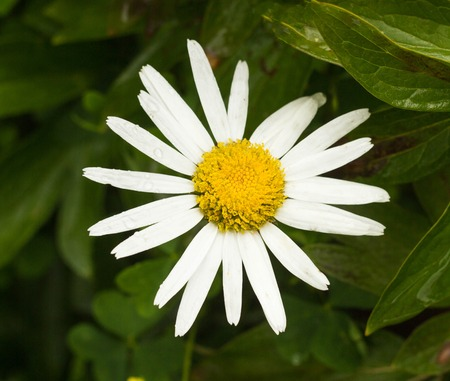 Large chamomile flower, close-up, marguerite and floral
