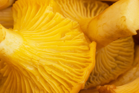 Background of chanterelles mushrooms, macro mushrooming chanterelles Stok Fotoğraf