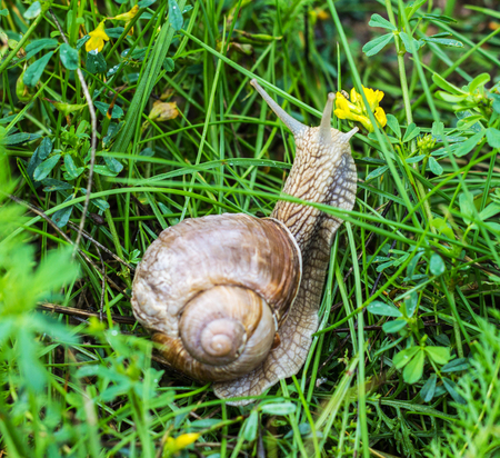 Big snail with green grass, close-up, animal