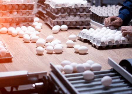 Sorting and packing of chicken eggs at a poultry farm, chicken eggs on a conveyor, hand 版權商用圖片