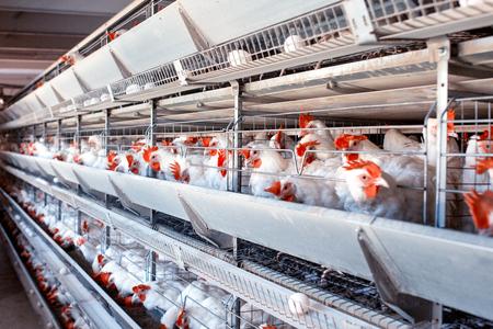 Ferme avicole pour la reproduction des poulets, les œufs de poule passent par le transporteur, les poulets et les œufs, l'industrie, l'élevage, l'agriculture Banque d'images