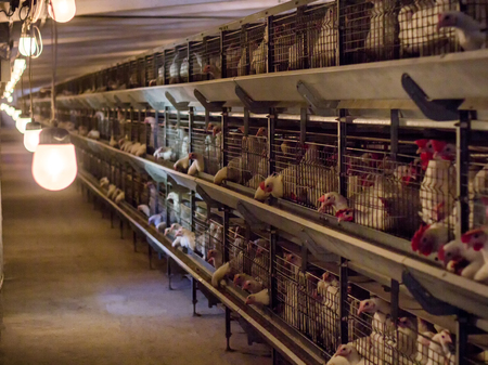 Modern chicken coop in which broiler chickens are bred for consumption in food