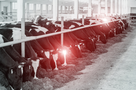 Black-and-white picture with sick cows that stand in the shed, cows diseases, epidemic