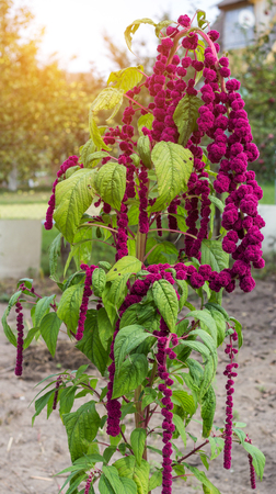 A large plant and a red amaranth flower, large blooming red amaranth braids dangle against the background of the sun, botanical 免版税图像