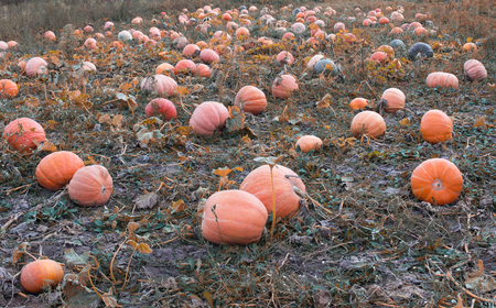 Large field with orange pumpkins, blue sky, autumn time, squash Stock Photo