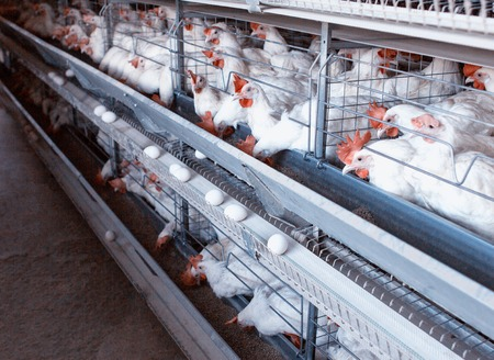 Modern New Poultry Breeding and Egg Production, copy space, chicken farm, organic, agriculture
