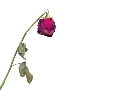 A faded rose flower on a white background concept of fading feelings in love and impotence in men and frigidity in girls, reduced desire, sexology, copy space, Erectile dysfunction Stock fotó