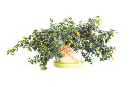 Home beautiful flower nematantus on a white background, isolate, goldfish, orange flowers, flowerpot Banco de Imagens