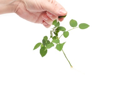 Female hand holds a sprig of roses with a developed root system, planting flowers, white background, isolate, ornamental
